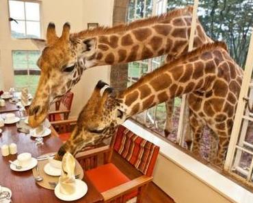 Frühstück mit Giraffen