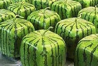 viereckige-wassermelonen-in-japan-T-2TlP3t.jpeg