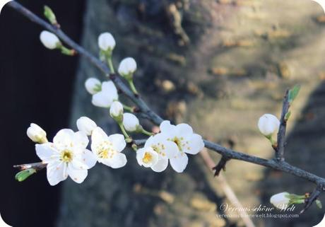 Wordless/Wordful Wednesday: Cherry blossom