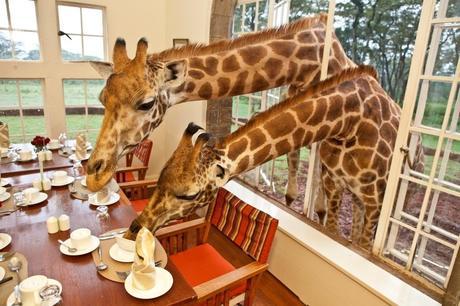 Guten Morgen Frühstück Mit Giraffen