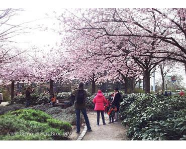 Bento-Picknick unter Kirschblüten Planten un Blomen Hamburg