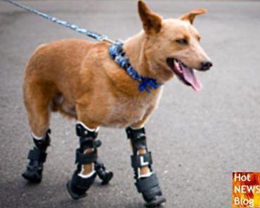 Hund bekommt Prothesen für alle vier Pfoten