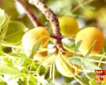 Warum auch Tiere auf die Marula-Frucht stehen