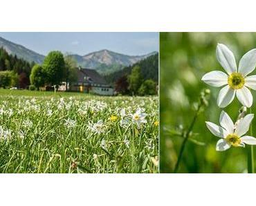 Narzissen-Blüte im Mariazellerland 2013 – Fotos