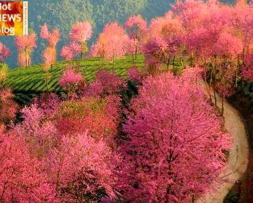 Die pinken Bäume von Nanjian Yi
