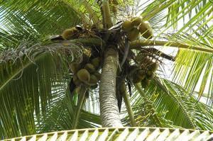 Die Anatomie der Kokosnuss