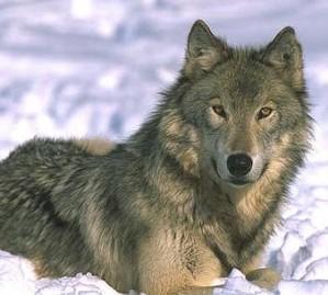 Wolf an der Nordseeküste