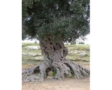 Olivenöl – Traditionelles Gesundheitsmittel