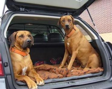 Immer wieder aktuell: Hundetransport im Auto