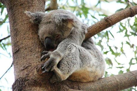 koala work and holiday