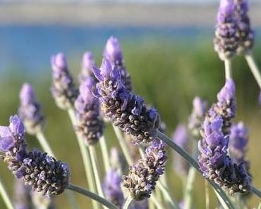 Lavendel zurückschneiden – so geht's