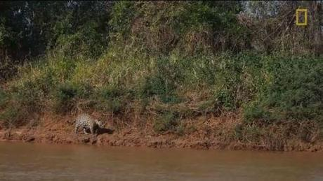 Jaguar attacks crocodile Screencapture