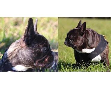 Die Französische Bulldogge - Wo züchten wir hin? (Teil 2/2)
