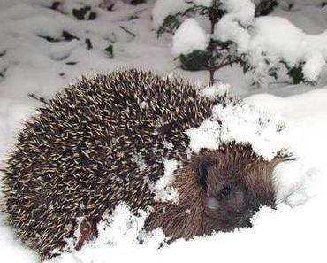 Warmer Winter: Was, wenn die Igel zu früh aufwachen?