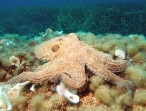 http://en.wikipedia.org/wiki/File:Octopus2.jpg Author: Albert Kok