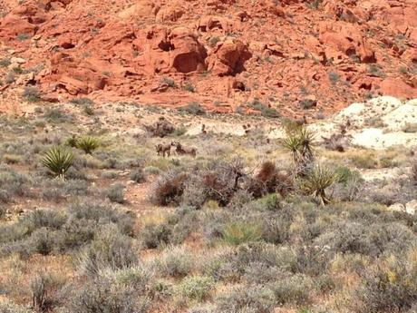 Wilde Esel im Red Rock Canyon