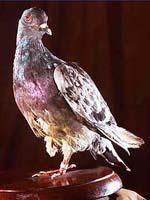 Verletzte Taube rettet 194 Menschen