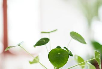 pilea peperomioides die ufopflanze. Black Bedroom Furniture Sets. Home Design Ideas