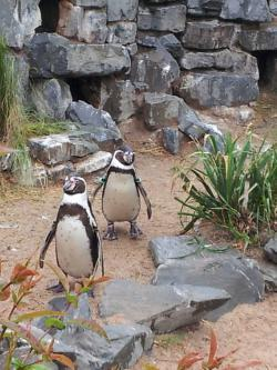 Galapagospinguine