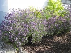 Lavendelschnitt, so bleibt der Lavendel schön