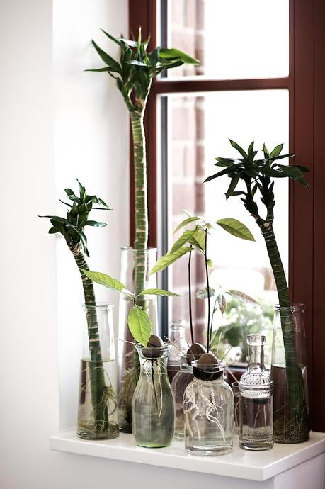 avocadopflanzen selber ziehen. Black Bedroom Furniture Sets. Home Design Ideas
