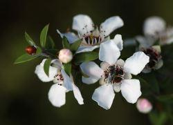 1280px-Manuka_flowers_and_native_bee