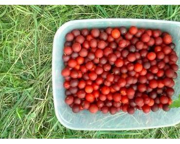 Mirabellen Marmelade aus wilden Mirabellen