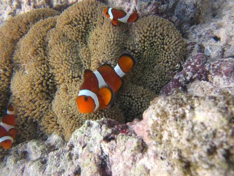 Travel Diary Philippines Palawan 6 clownfish