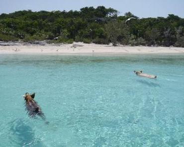 Mein Traum: Schwimmen mit Schweinen auf den Bahamas