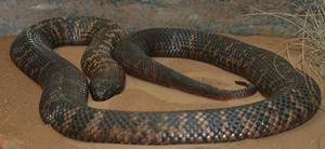 Collett-Schwarzotter (Pseudechis colletti, engl. Collett's snake)