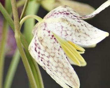 Makro Montag | Fritillaria meleagris