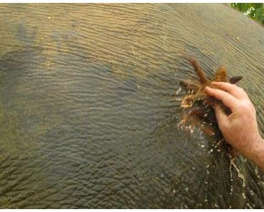 Wie wasche ich einen Elefanten?
